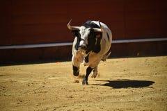Bull in spanish bullring with big horns stock photos