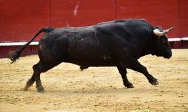 Bull spanish in spectacle. Big spanish bull in spectacle in spain Stock Image