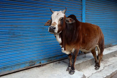 A Bull Standing in Front of Closed Shops. An Indian street bull stands on the stairs in front of a closed shop. This brown and white bull stands here sunning Stock Images