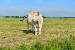 Bull standing in meadow Stock Photos