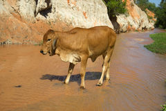 A bull stands in the Creek Fairies. The Surroundings Of Phan Thiet, Vietnam Royalty Free Stock Image