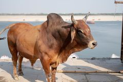 A bull stands stoic at the Ghats in Varanasi. stock photos