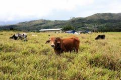 Bull staring at the camera , Venezuela Royalty Free Stock Image