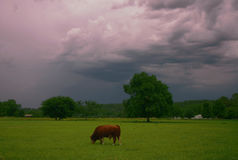 Bull Storm Stock Photography