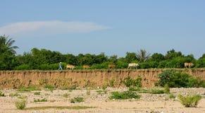 Bull sulla strada rurale Immagini Stock Libere da Diritti