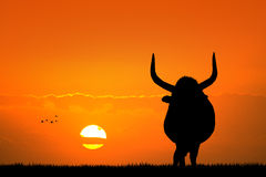 Bull at sunset Stock Photography