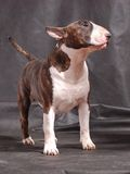 Bull terrier 01. Word champion.  best of breed. CW Stock Image