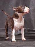 Bull terrier 01 Stock Image