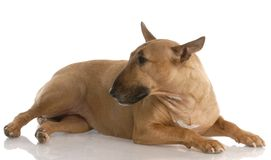 Bull terrier Royalty Free Stock Image