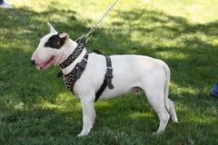 Bull-terrier Image stock