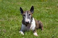 Bull terrier Stock Photography
