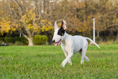 Bull-terrier Images stock