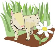 Bull terrier. The Nice pawl on green meadow, considers the daisywheel Royalty Free Stock Image