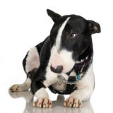 Bull Terrier (2 years) Royalty Free Stock Image