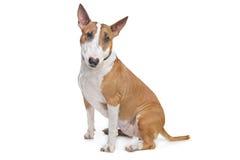Bull-Terrier Stockfotografie