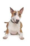Bull-Terrier Stockfotos