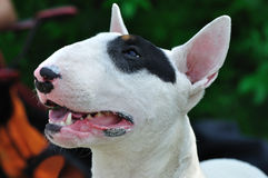Bull Terrier. Portrait of bull terrier dog on the conformation show Stock Photo