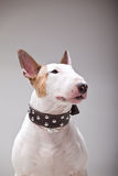 Bull Terrier Stock Photography