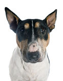 Bull terrier Royalty-vrije Stock Foto