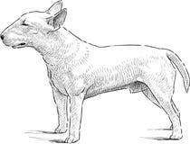 Bull terrier Royalty-vrije Stock Afbeeldingen