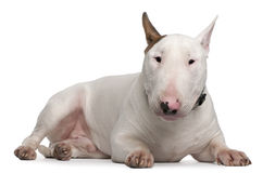 Bull Terrier, 9 months old, lying Royalty Free Stock Images