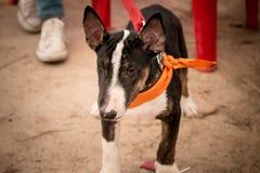 Bull-terrier Photographie stock libre de droits
