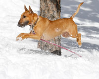 Bull terrier airborne over the snow Royalty Free Stock Photography