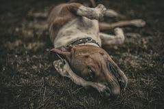 Bull-terrier américain du Staffordshire Photo stock