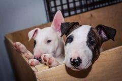 Bull-terrier anglais Photos libres de droits