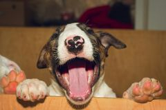 Bull-terrier anglais Photo stock