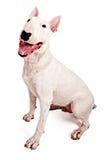 Bull-terrier anglais photographie stock libre de droits