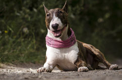 Bull-terrier anglais Photographie stock