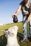Bull terrier aproximadamente a mastigar no brinquedo Fotografia de Stock Royalty Free