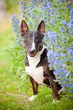 Bull terrier in autumn flowers Stock Photography