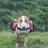 Bull terrier with bag on the back stock photo