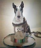 Bull-Terrier Bandito Portrait großer Sombrero Lizenzfreie Stockfotografie