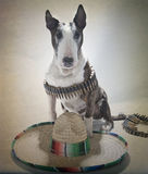Bull Terrier Bandito Portrait large sombrero. English Bull Terrier dressed up as a Bandito for a portrait with a large sombrero, mustache and bullets royalty free stock photography