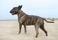Bull terrier on the beach Stock Photography