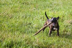 Bull terrier biting a wood stick. Tiger bull terrier is biting a wooden stick in the grass stock images