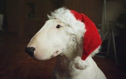 Bull-terrier blanc dans un chapeau de Noël Photo stock