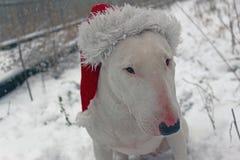 Bull terrier blanco en un sombrero de la Navidad Foto de archivo