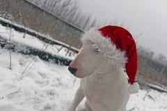 Bull terrier blanco en un sombrero de la Navidad Imagen de archivo