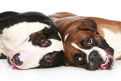 Bull Terrier and boxer resting Stock Photo
