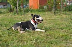 Bull terrier che si trova sull'erba Fotografia Stock