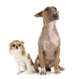 Bull terrier and chihuahua Stock Photography