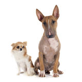 Bull terrier and chihuahua Stock Image