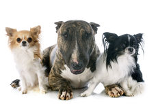 Bull terrier and chihuahuas Stock Photos