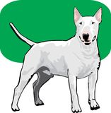 Bull terrier color Royalty Free Stock Images