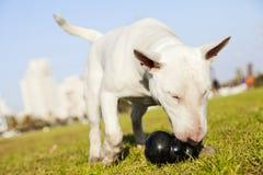 Bull terrier com o brinquedo da mastigação no parque Fotografia de Stock Royalty Free