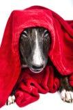 Bull terrier con rojo cubre el frontal foto de archivo